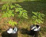 Growing small Moringa seedlings